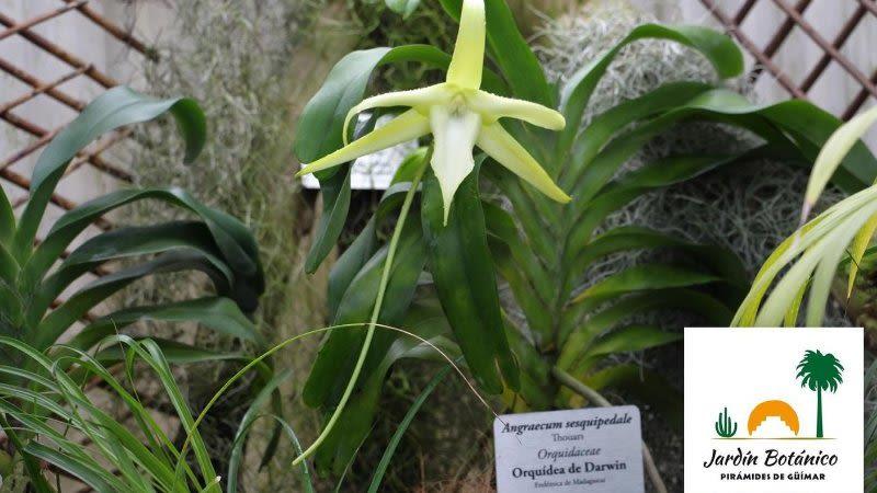 darwin orchid pyramides -guimar
