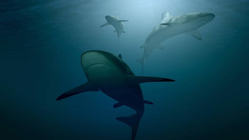Sharks gran canaria