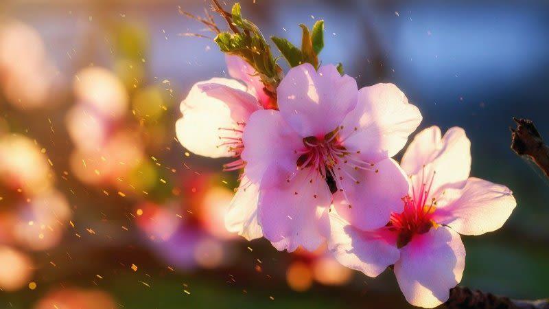 almonds bloom gran canaria ruta del almendro en flor