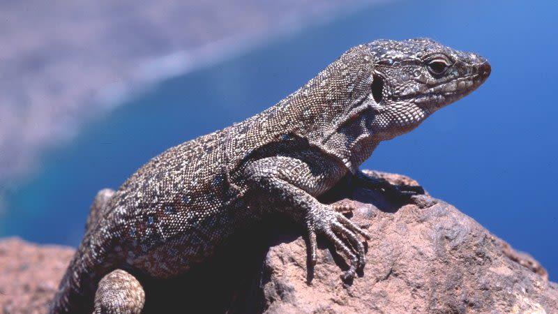 tenerife giant lizard